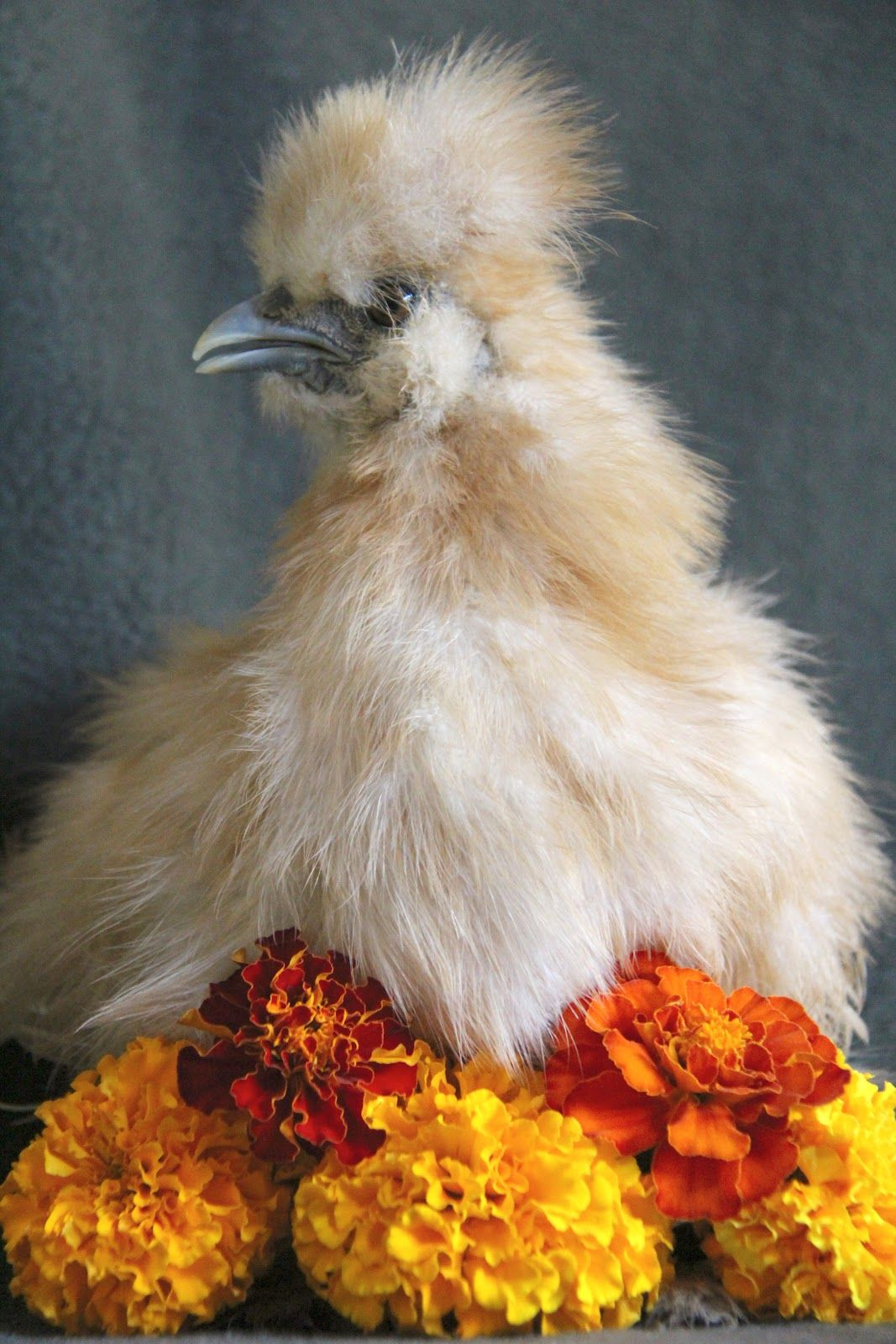 Juvenile Tolbunt from A Chicken A Day - roosters