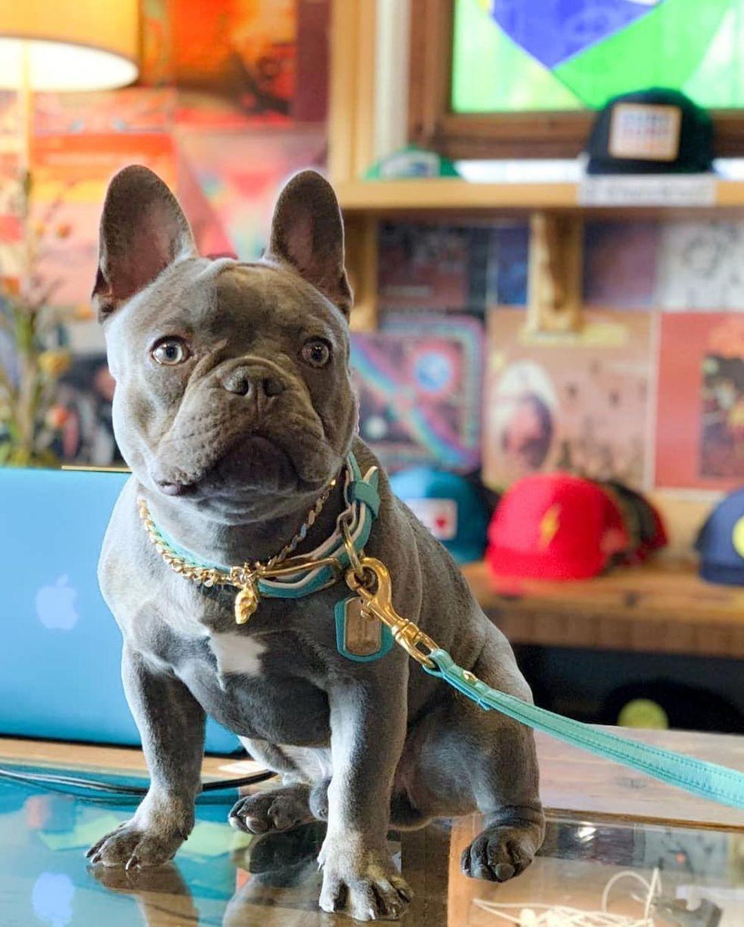 Love How Cute French Bulldog White French Bulldog Puppies