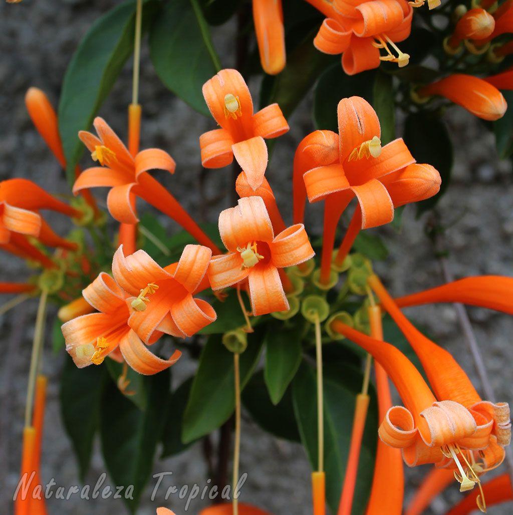 Una trepadora de ensue o conocida popularmente como lluvia - Jardines de ensueno ...