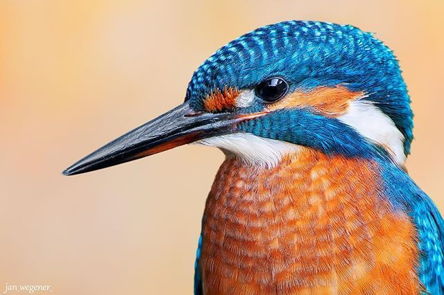 Common Kingfisher • I've only ever had a few hours with