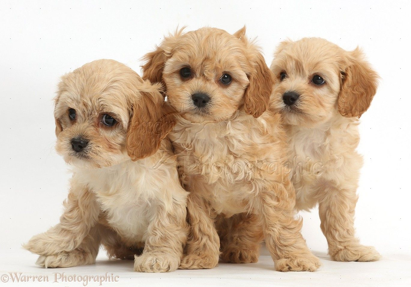 Great Cavapoo Brown Adorable Dog - 6d3d887f7aff1f585e5290b3b9c163fb  Collection_427927  .jpg