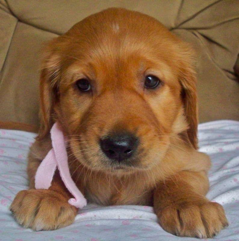 Golden retriever puppies for sale orange county