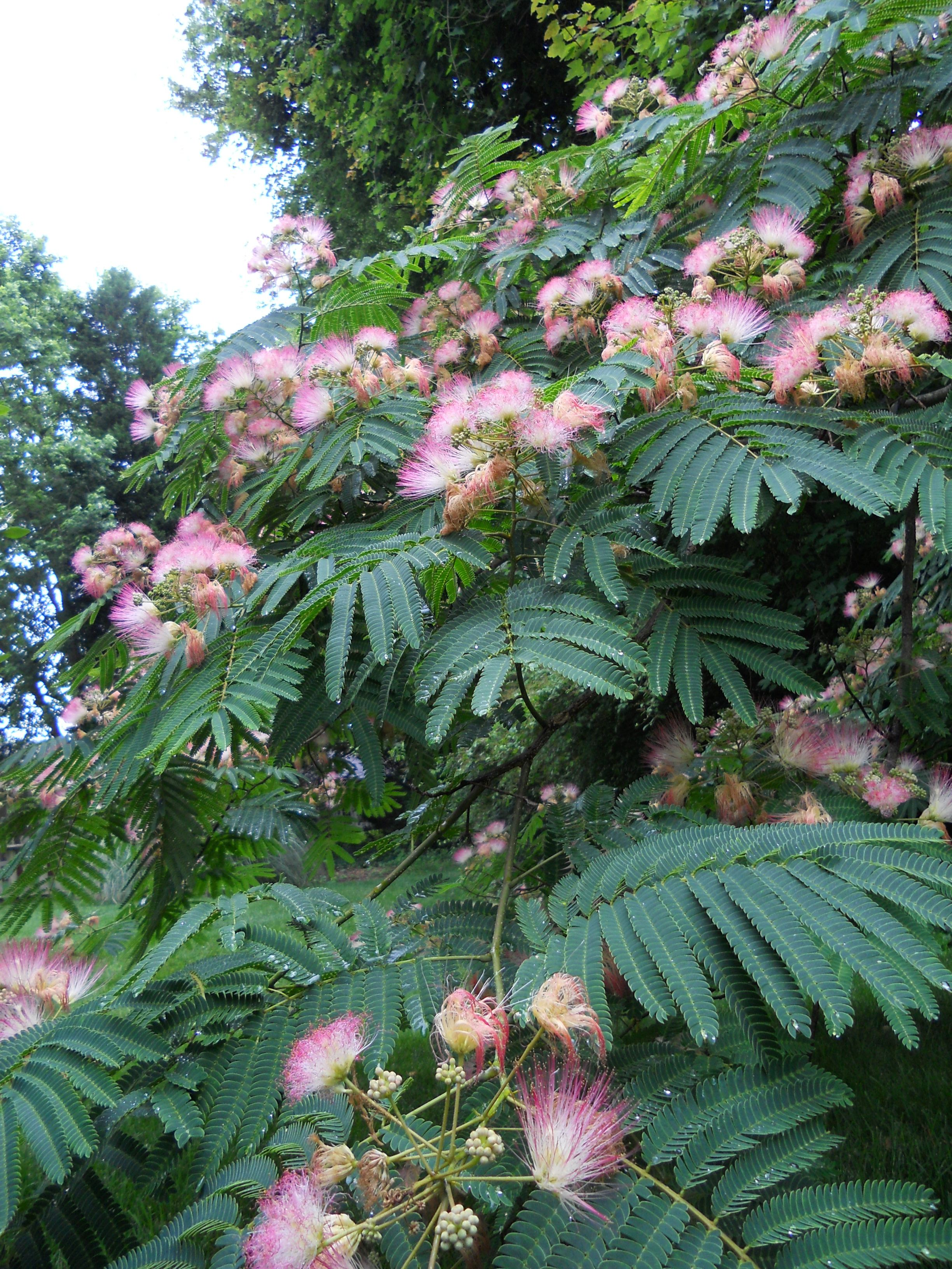 My Favorite Tree Mimosa Tree I Want One In The Front Of My House