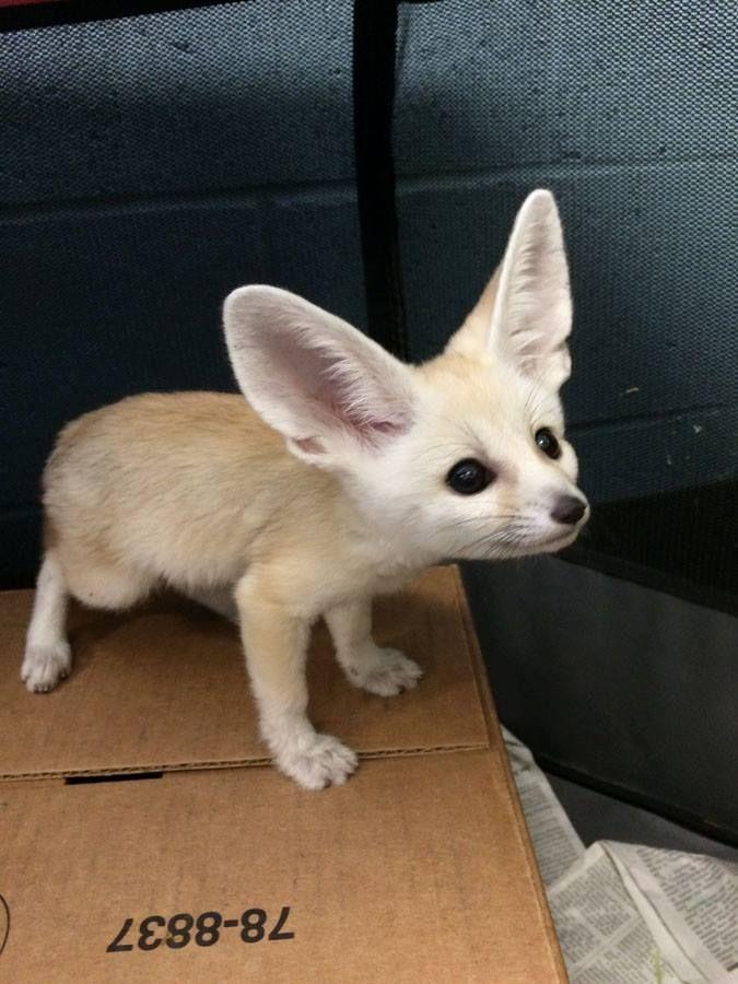 Fennec Fox Pet Aesthetic