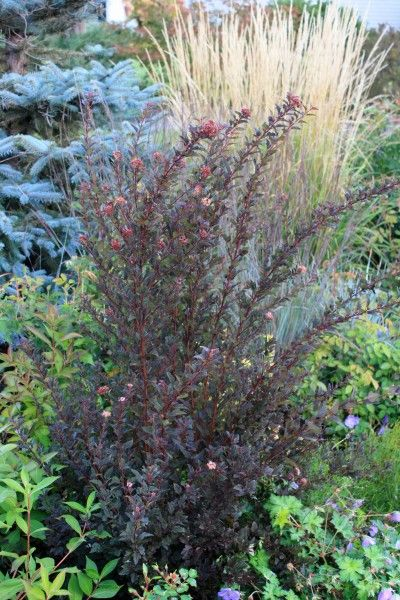 Shrub for sun physocarpus little devil nine bark is a low for Low maintenance flowering bushes