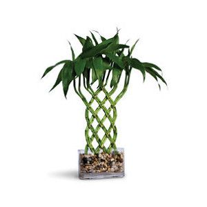 decorative house and indoor plants from frontgate com indoor plants bonsai trees tropical house plants