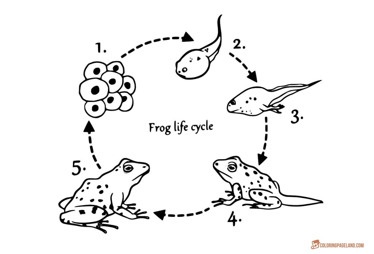 Coloring Page Life Cycle Of Frog Sequence Of Stages Of Development