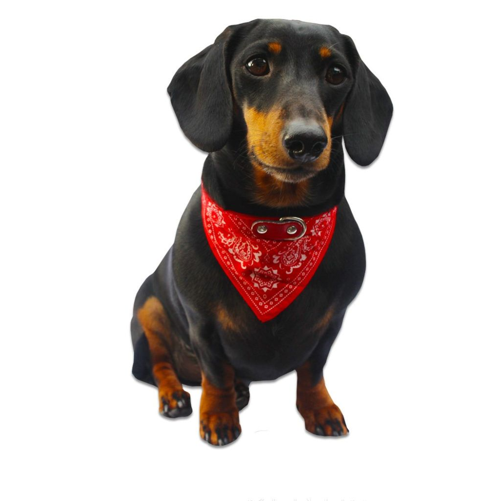 Dachshund Accessories For Dogs Dogs Dachshund Dachshund Dog