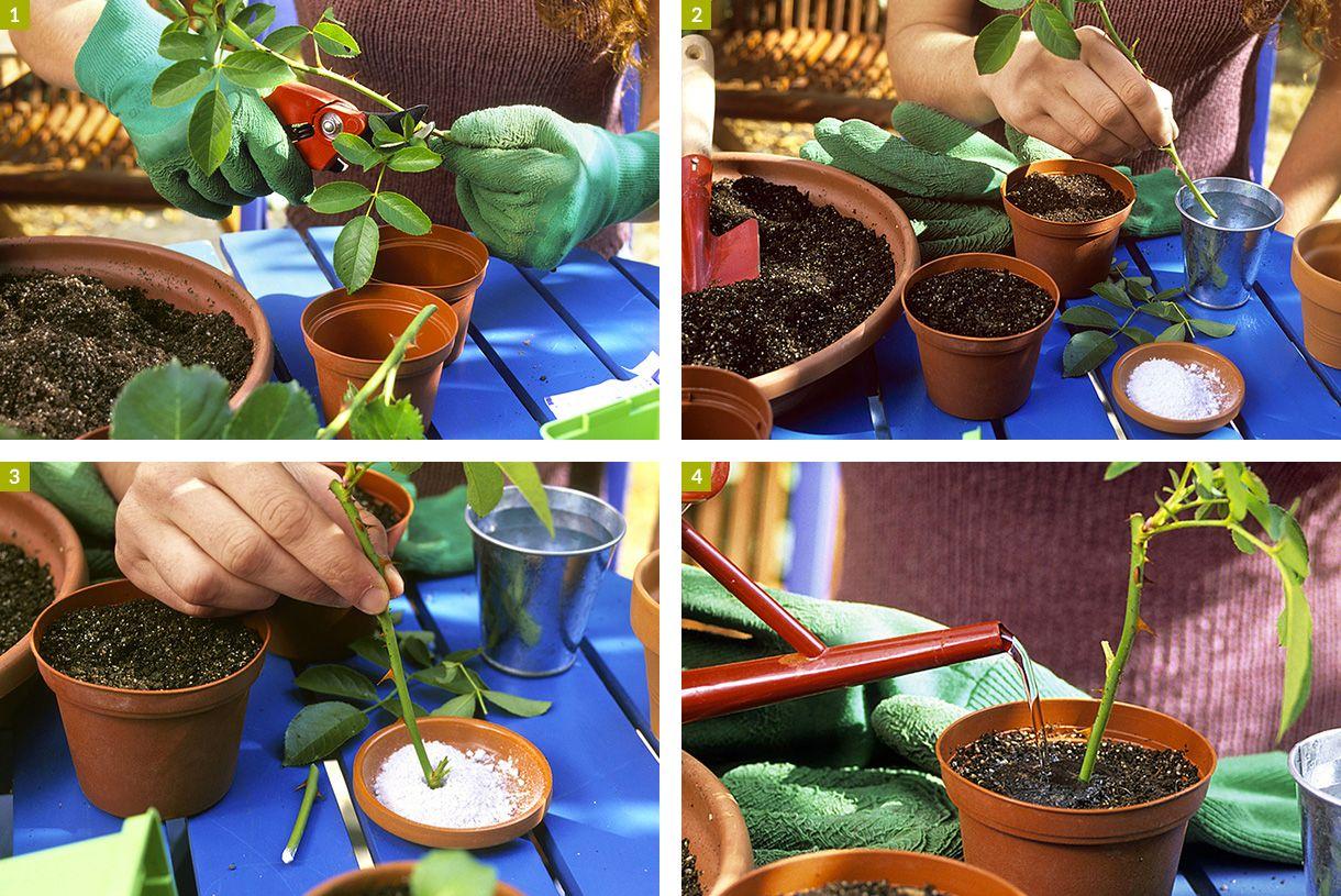 Bouturer les rosiers en 3 étapes Rosier, Bouture rosier