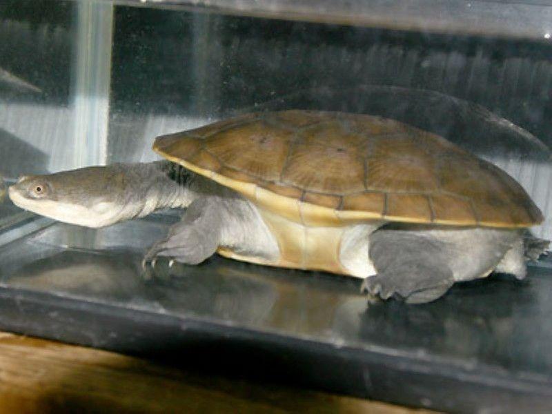 ジーベンロックナガクビガメ 爬虫類 亀の基本的な知識と飼育方法 爬虫類 亀 給餌