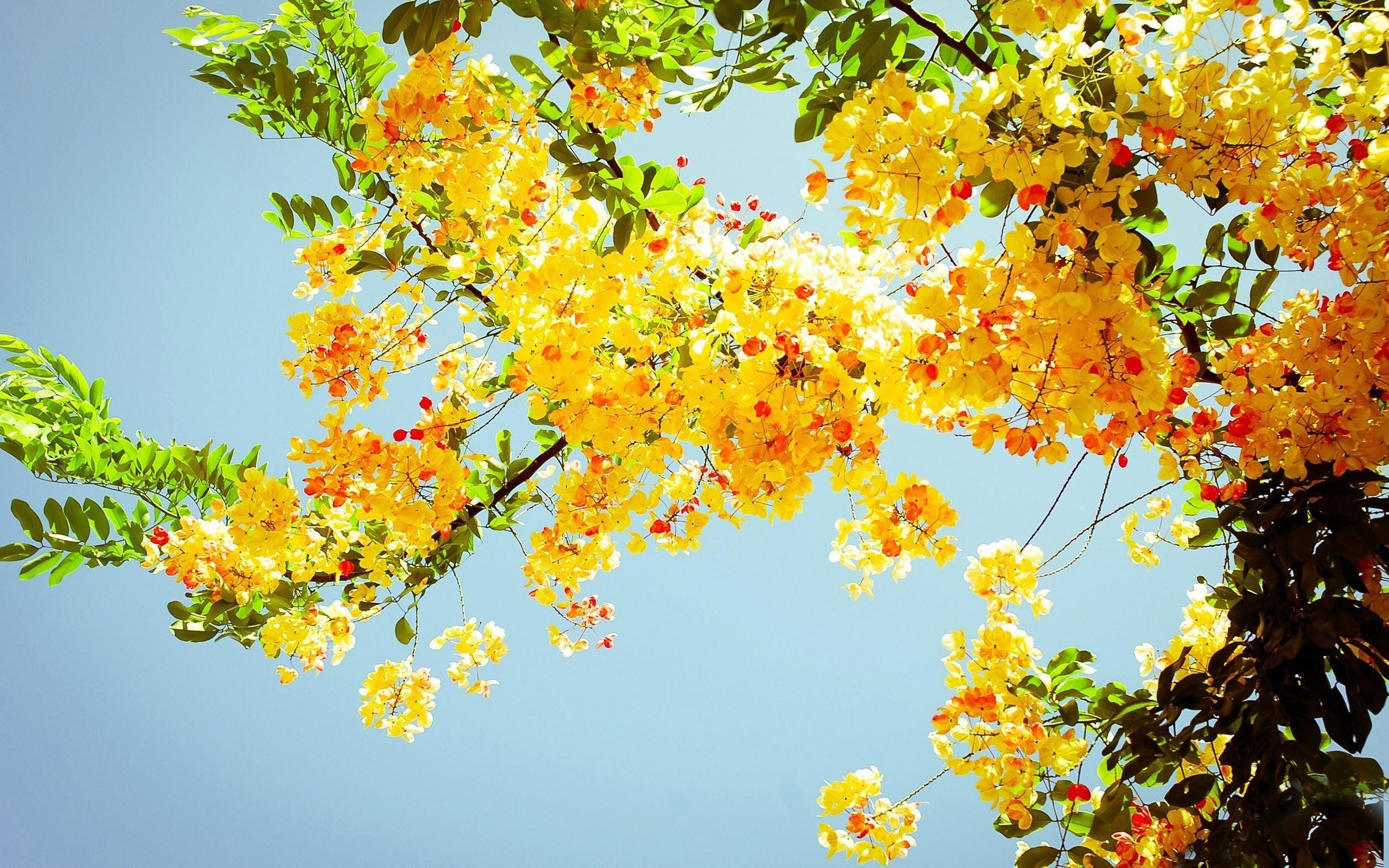 Beautiful Yellow Flowers On A Tree Hd Nature Wallpaper Yellow Blossom Yellow Spring Flowers Yellow Flowers