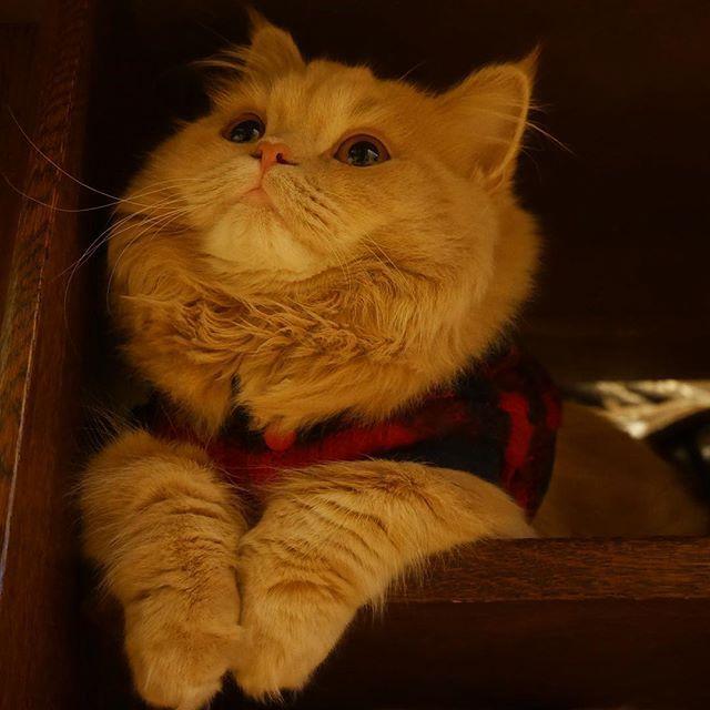 リビングボードでアンニュイな ベルちゃんを発見 さんだって 物思いにふける事あるんです Bell ベルくん 髭祭 みんねこ ペコねこ部 フェリシモ猫部 ねこのきもち ピクネコ ペットスマイルベストショット にゃんコレ Cute Animals Animals