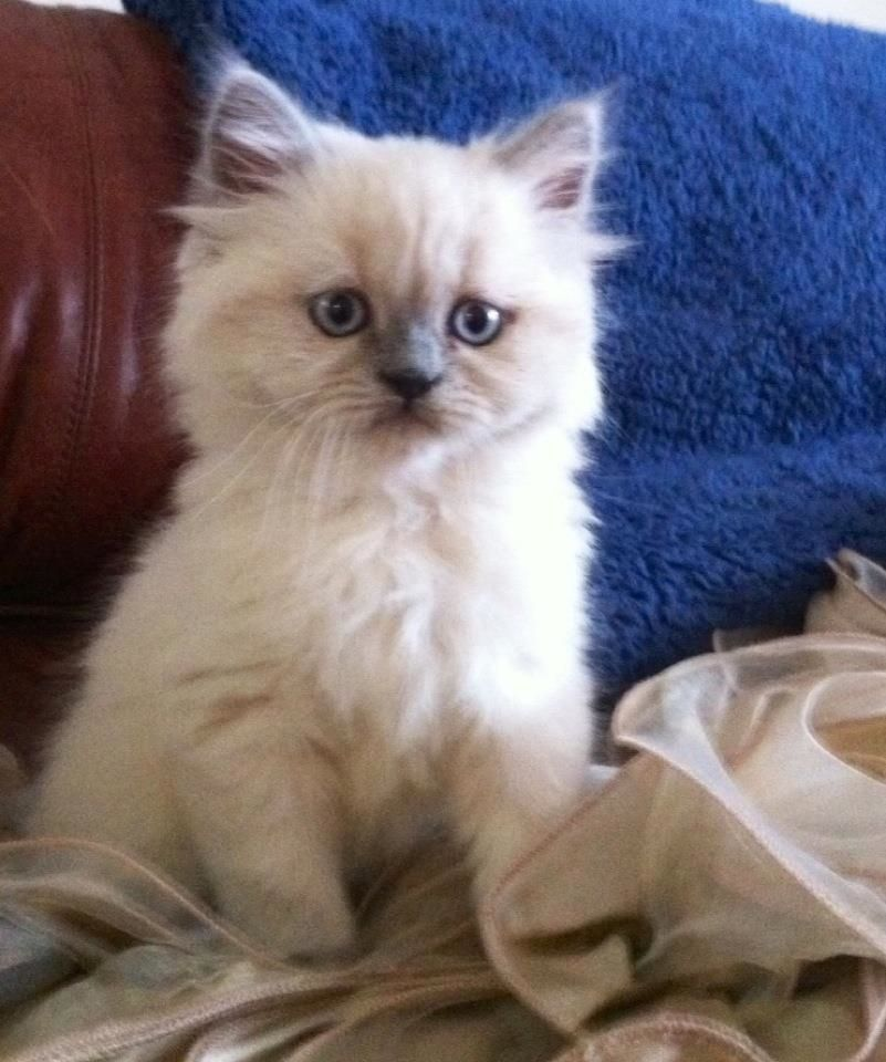 Security Check Required Facebook Himalayan Kitten Pretty Cats