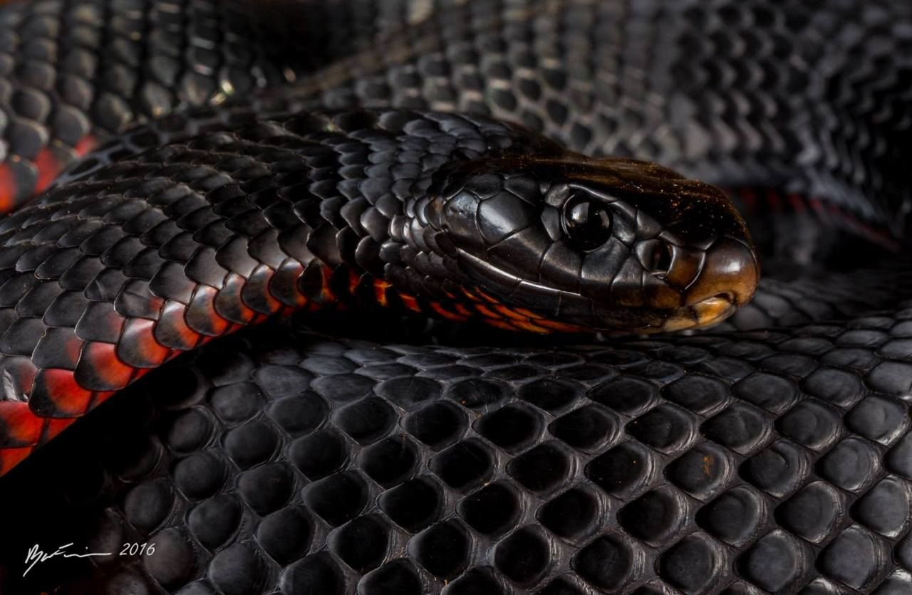 Animal Red Bellied Black Snake Snake 1080 1920 Mobile Wallpaper Browse Our These Black Wallpaper On Your Phon Snake Wallpaper Black Wallpaper Snake Art