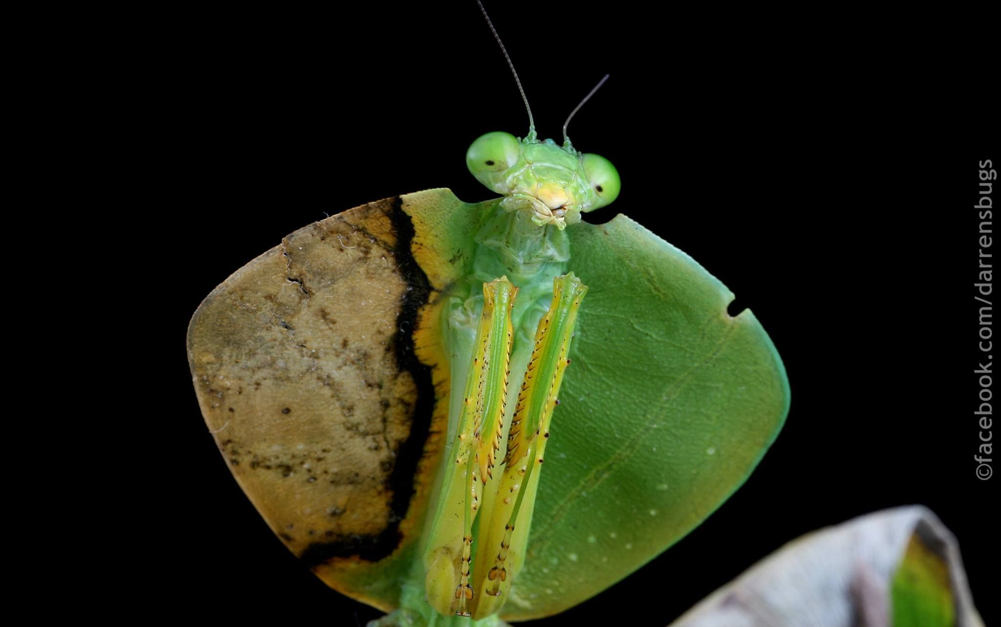 Hooded Mantis Genus Choeradodis Insect Collection Cool Bugs Prehistoric Creatures