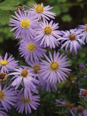 Aster Aroma Bluestone Perennials Flowers Perennials Perennials Perennial Plants