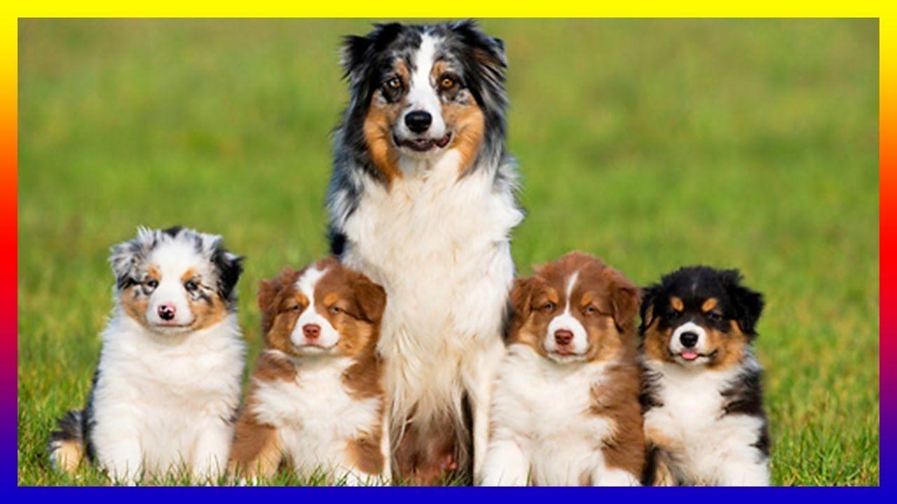 Pregnant Australian Shepherds Dog Giving Birth To Many Cutes Puppies Australian Shepherd Pregnant Dog Shepherd Dog Breeds