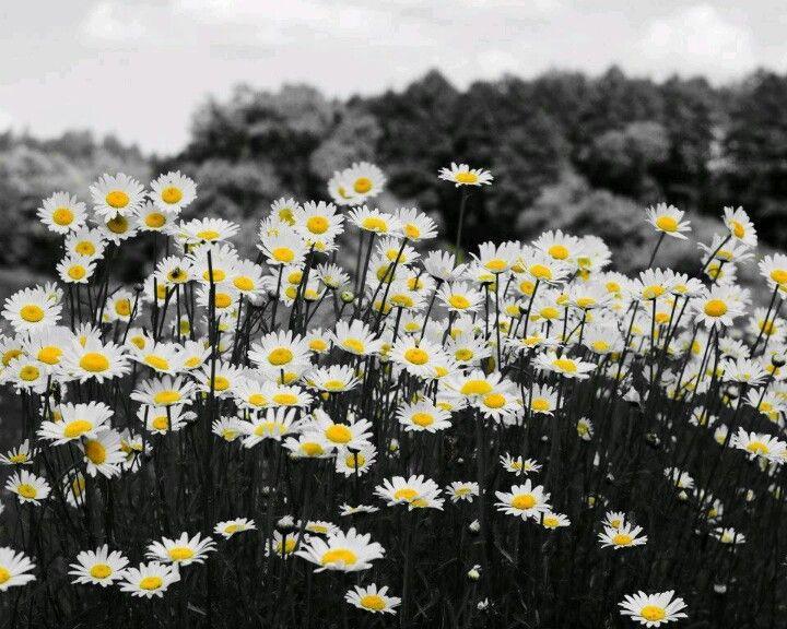 Field Of Daisies Daisy Background Summer Desktop Backgrounds Best Flower Wallpaper