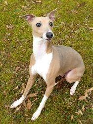 Tony Joins Our Family Grey Hound Dog Italian Greyhound Dog Italian Greyhound