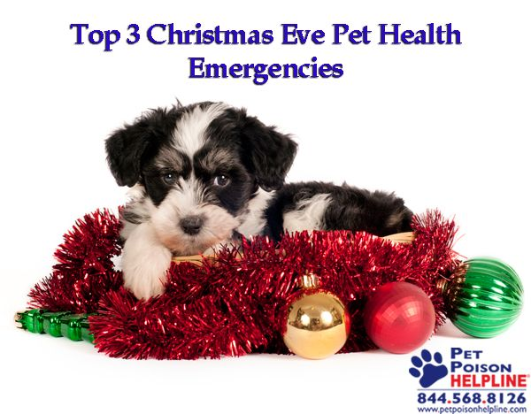 Top 3 Christmas Eve Pet Health Emergencies  #holidays #pets #cat #dog #decorating #winter  http://www.petpoisonhelpline.com/uncategorized/tales-christmases-past/