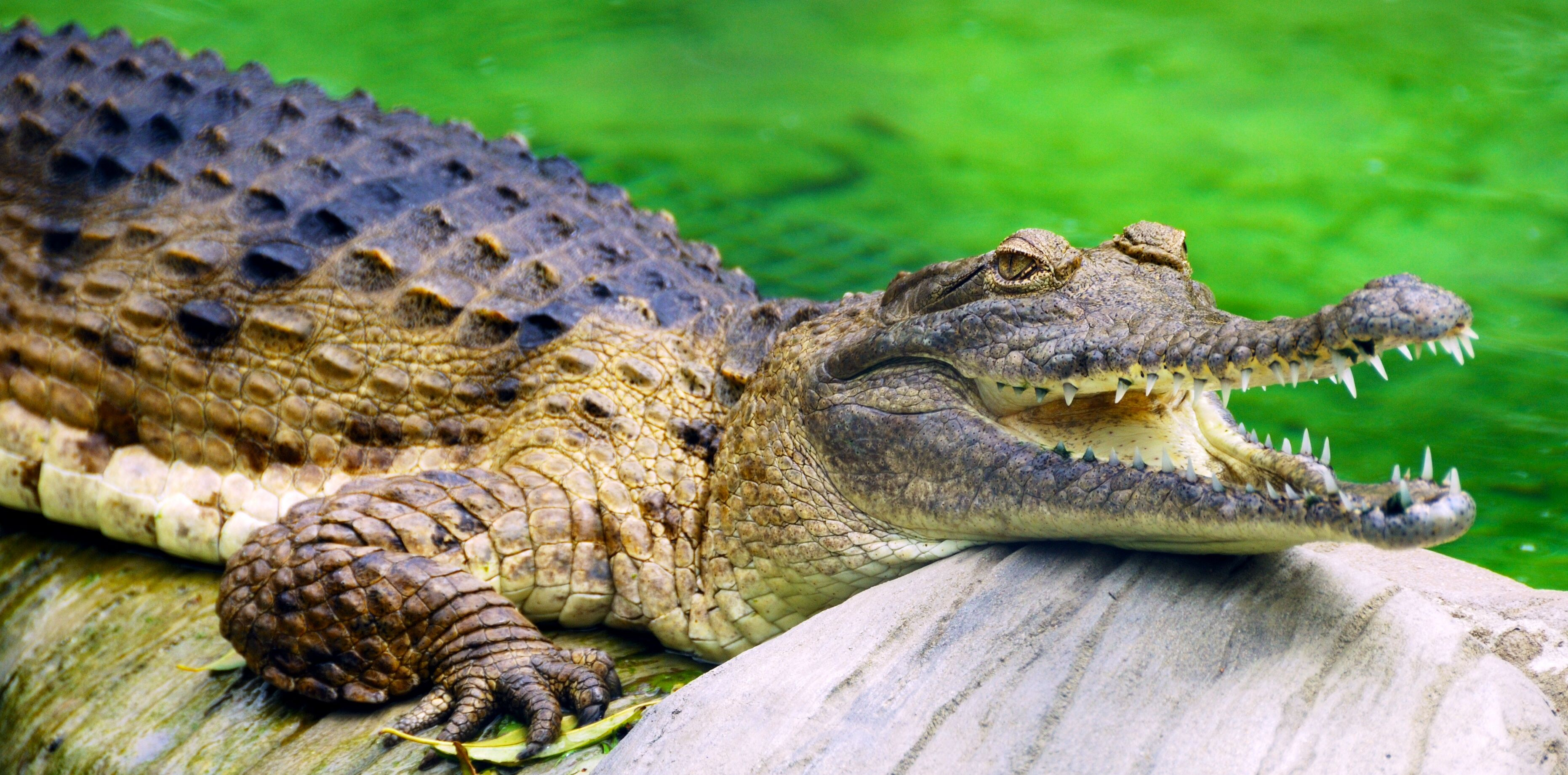Freshwater Crocodile Populations Are Being Reduced To The Point Of Endangerment Animals Australian Crocodile Australian Wildlife