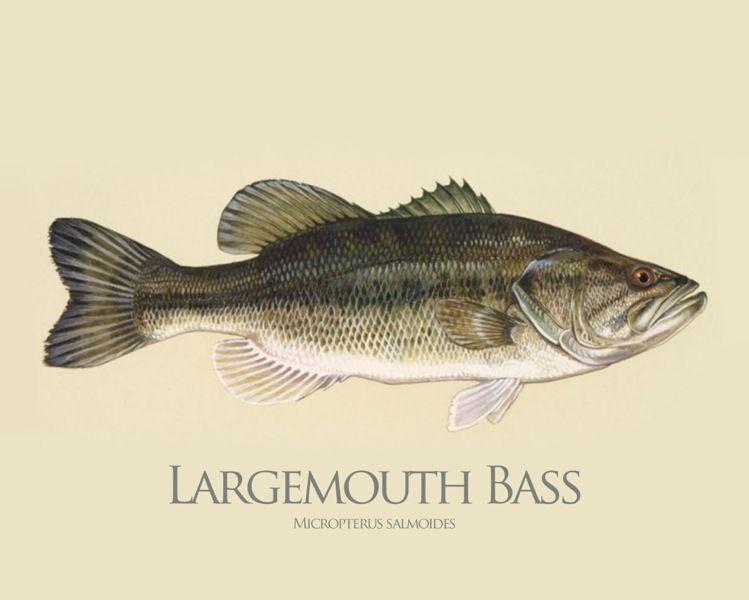 Charmant Malvorlagen Von Bass Fish Bilder - Dokumentationsvorlage ...