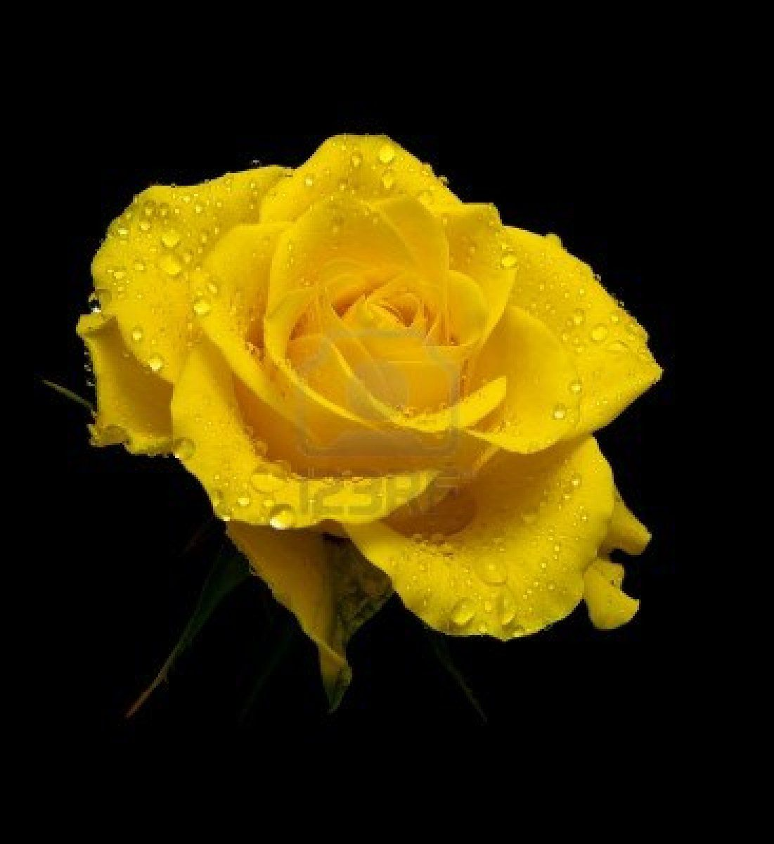 Beautiful Yellow Rose Wallpapers Beautiful By Free Hd Wallpapers