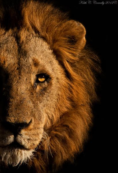 Ranger Diaries Photos Lion Face In Half Light Lion Face Animals Photo