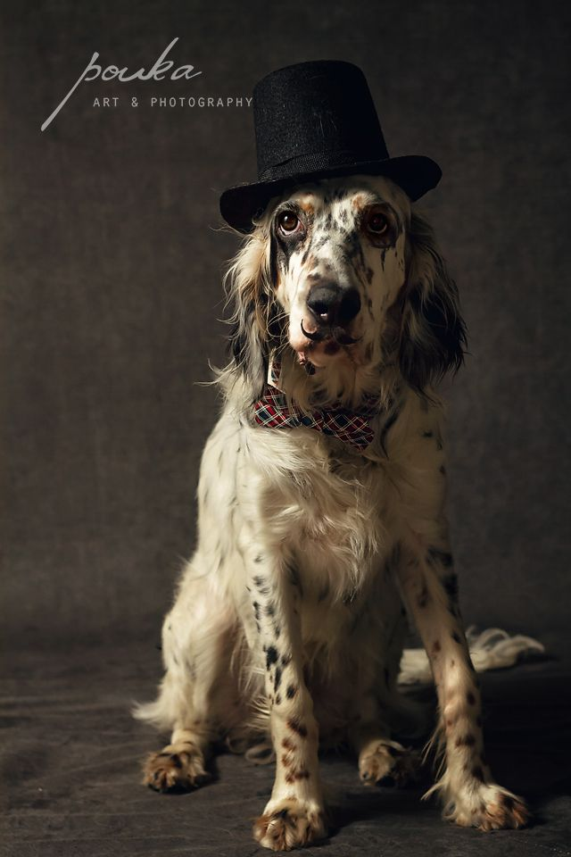English Setter Bow Tie English Setter Dogs Pet People Dapper Dogs