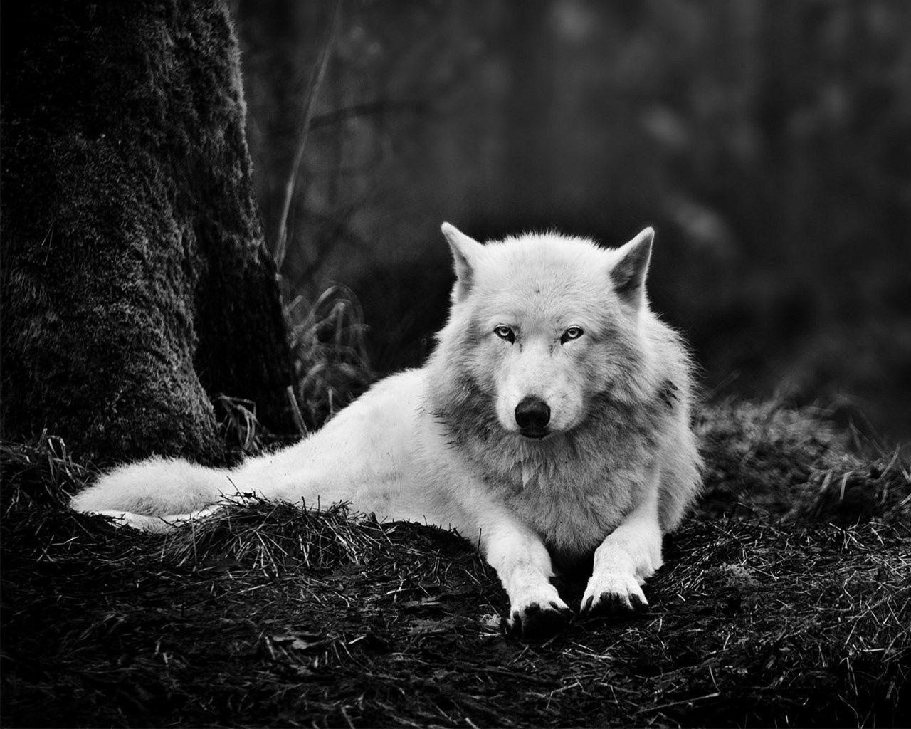 white wolf wallpaper in 1280x1024