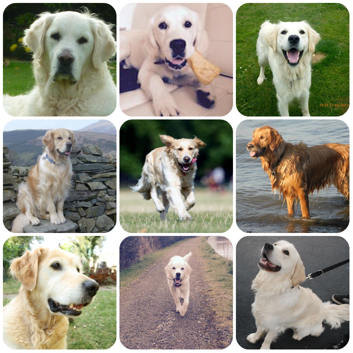 Golden Retriever Collage Part Of Borrowmydoggy S Guide To Dog