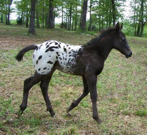 Black with Blanket and Spots Appaloosa Colt | Appaloosa