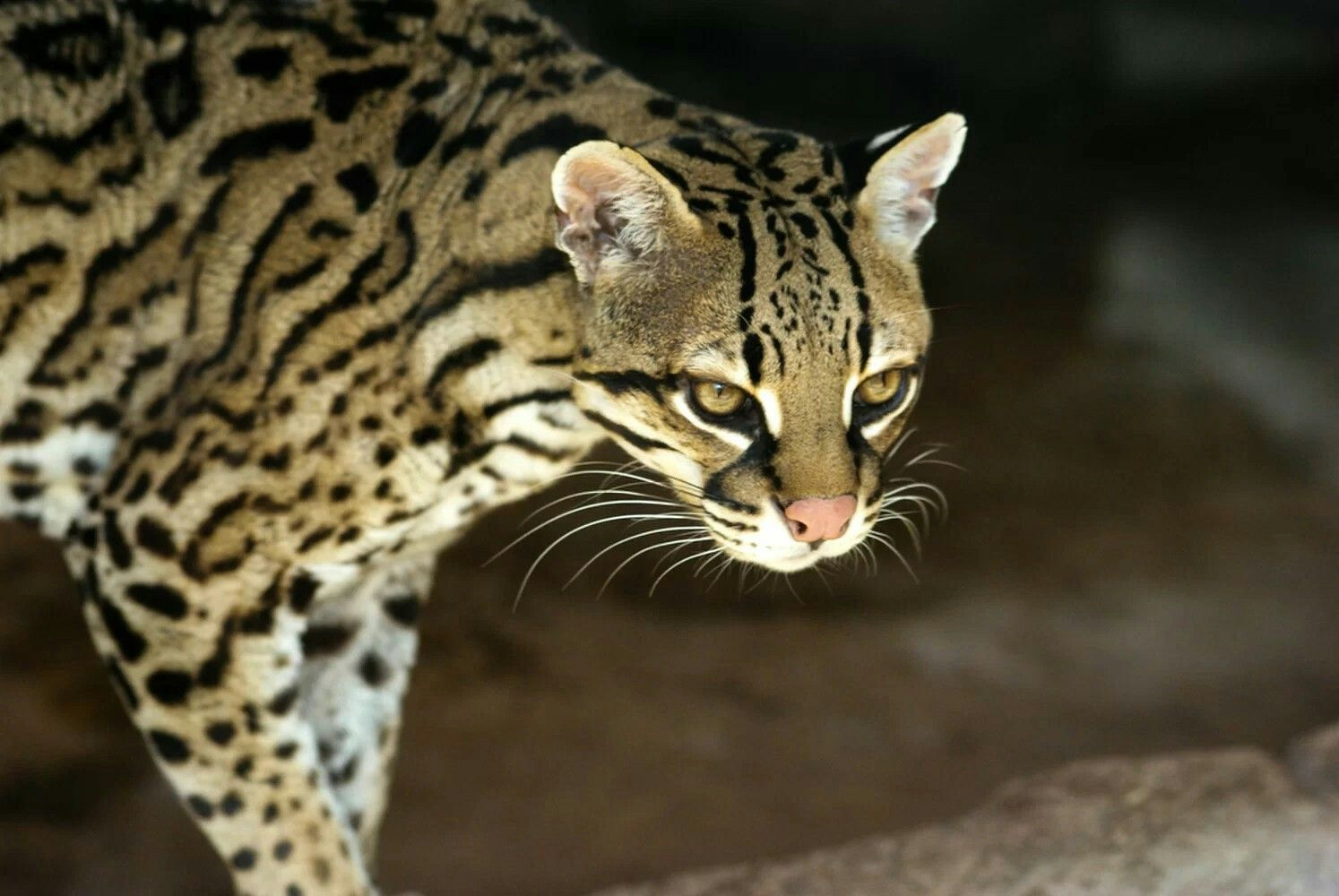Ocelot (With images) Wild cats, Ocelot, Spotted cat