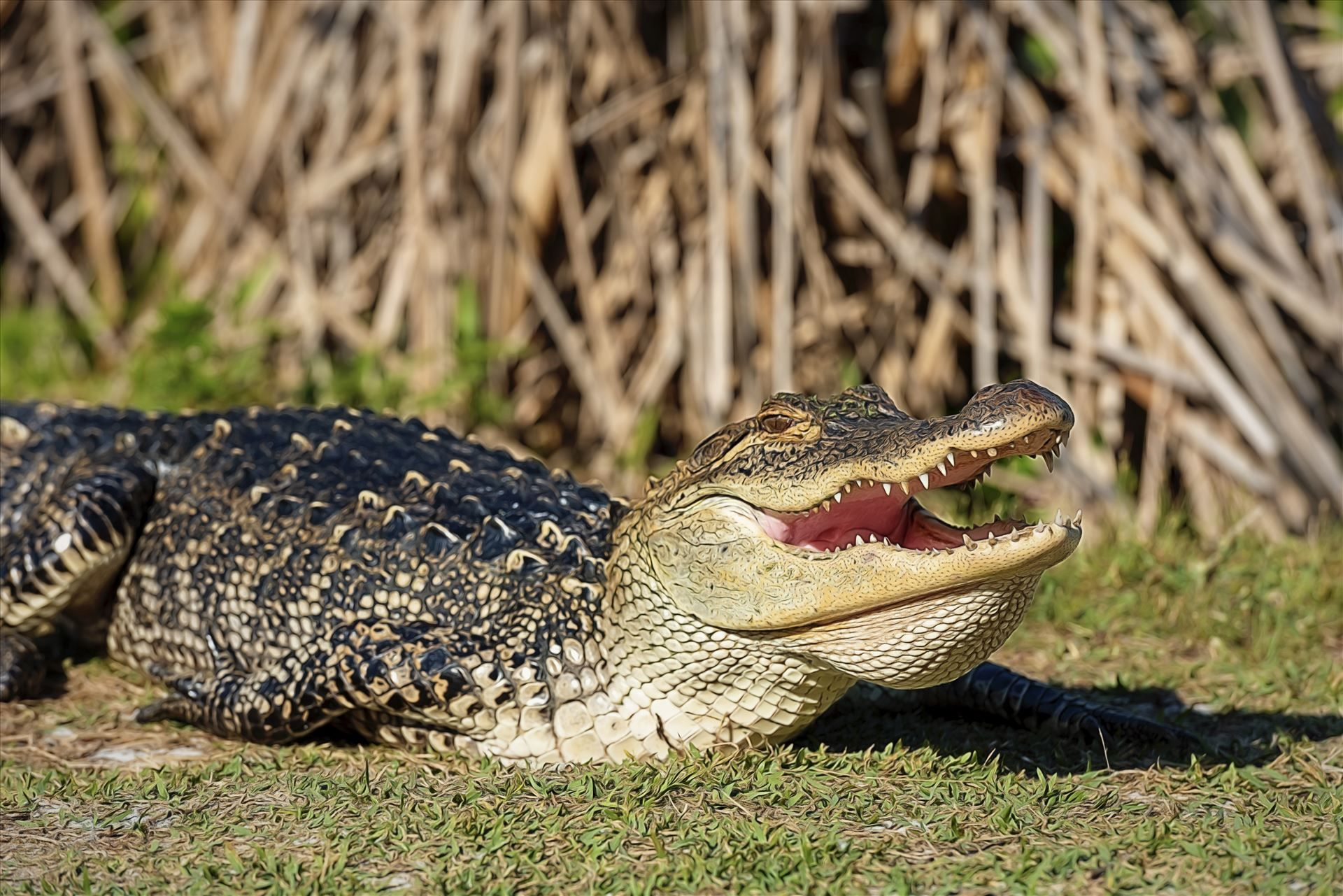 Alligator Sunning And Smiling For The Camera At Gator Lake St Andrews State Park