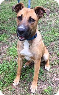 Denver, CO German Shepherd Dog/Boxer Mix. Meet Layla, a