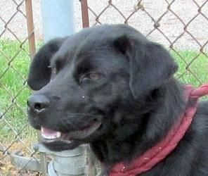 FOUND IN CANTON, OHIO>>>23 Zora is an adoptable Black Labrador Retriever Dog in Canton, OH. Release date 8/20, �$ 86.00 fee includes license, 5 way shot if able and available. $50.00 goes to the cost of spay/neuter and rabie...