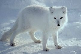 Tundra Biome: Interesting Info About its Plants and Animals | The ...