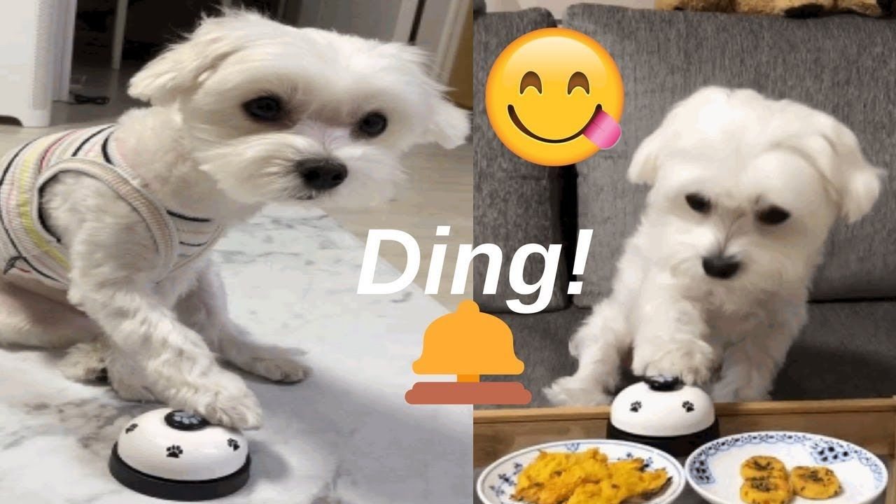 Maltese Puppy Rings A Service Bell For Food Maltese Puppy