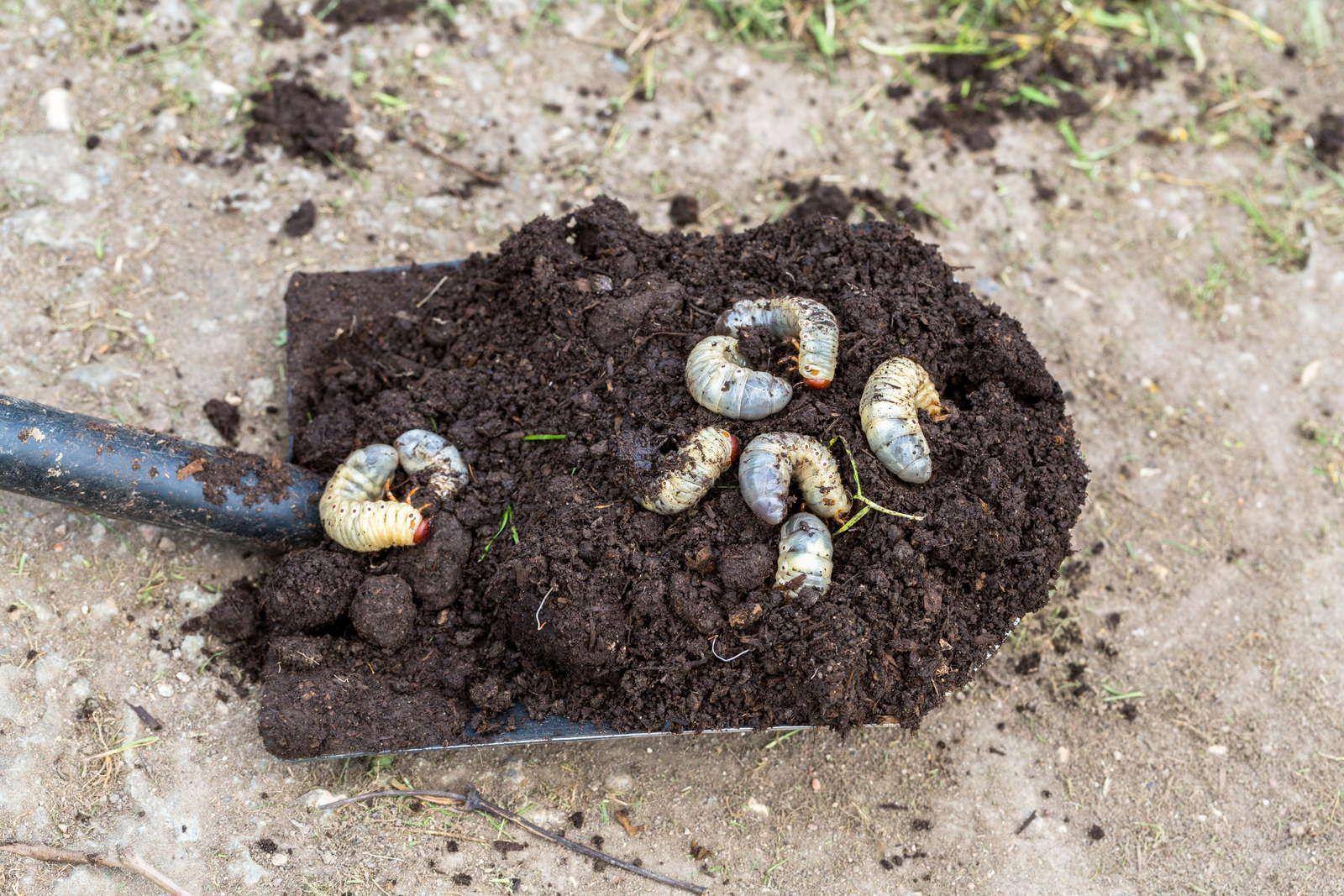 Engerlinge Die Kaferlarven Bestimmen Bekampfen Plantura Engerlinge Schadlinge Im Garten Gartenerde