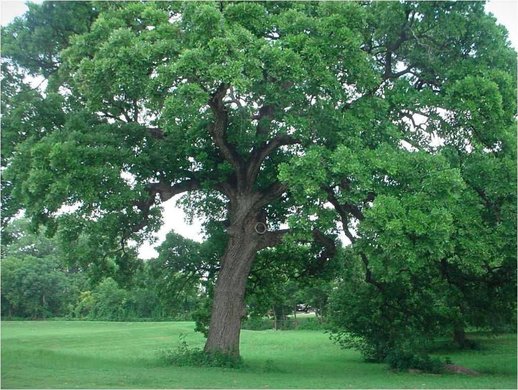 Bur Oak A Classic Tree Big Grand Traditional And Fast Growing Relatively Speaking Don T Plant It If You Don T Have Room Bur Oak Tree Trees To Plant Tree
