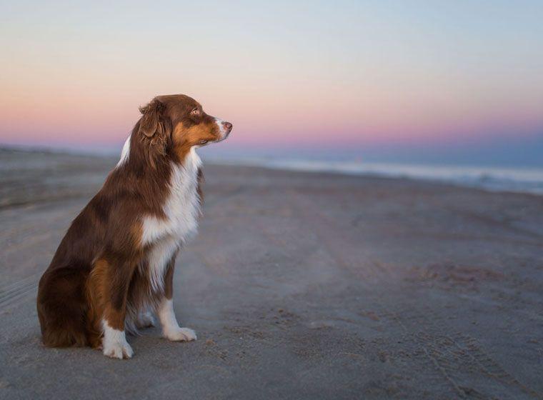 Australian Shepherd Rasseportrait im Hunde Magazin