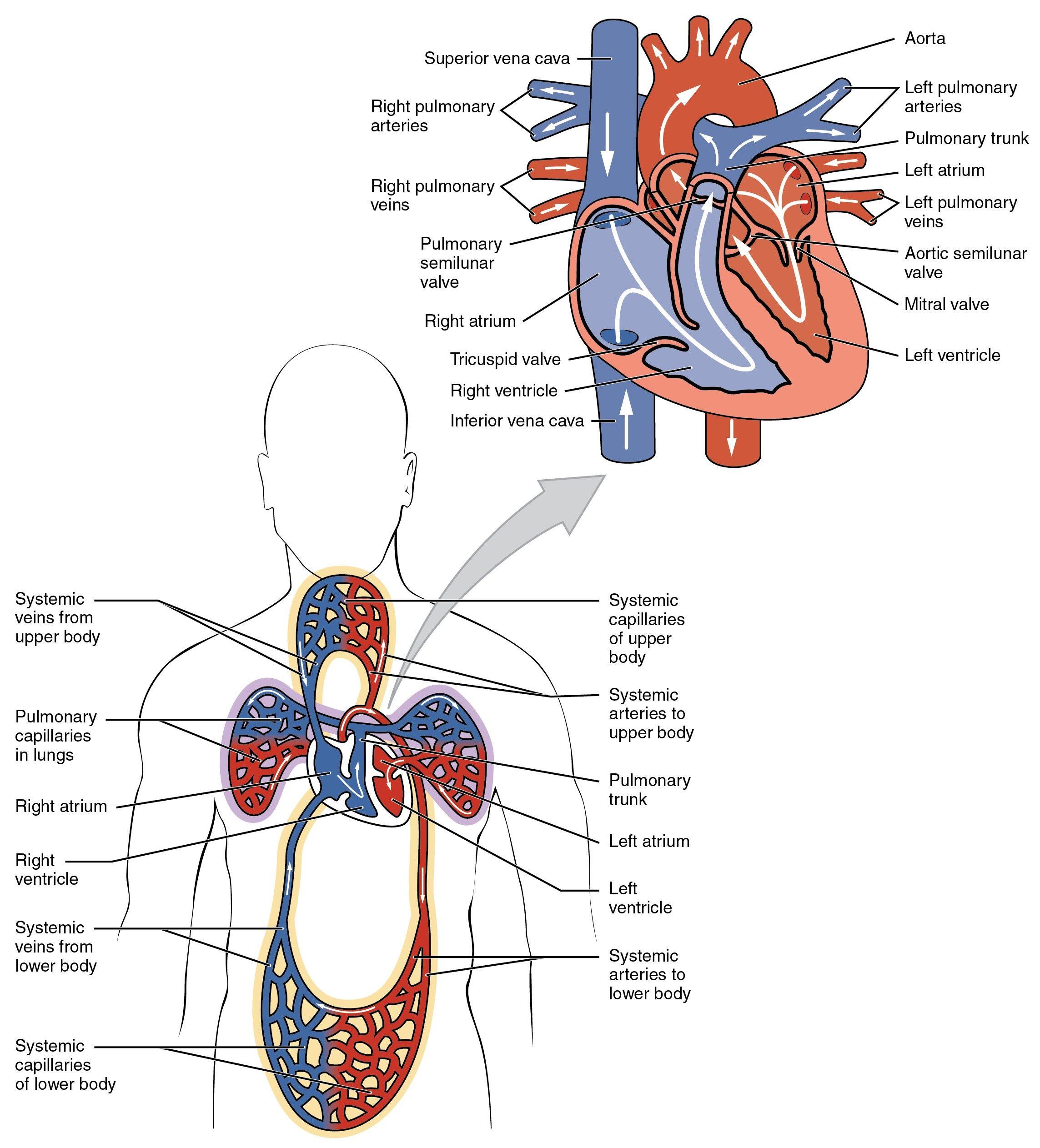 11 General Healthy Heart Worksheets Di