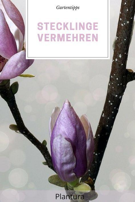 stecklinge vermehren stecklinge von hortensie rose und co bewurzeln gartenideen pinterest. Black Bedroom Furniture Sets. Home Design Ideas