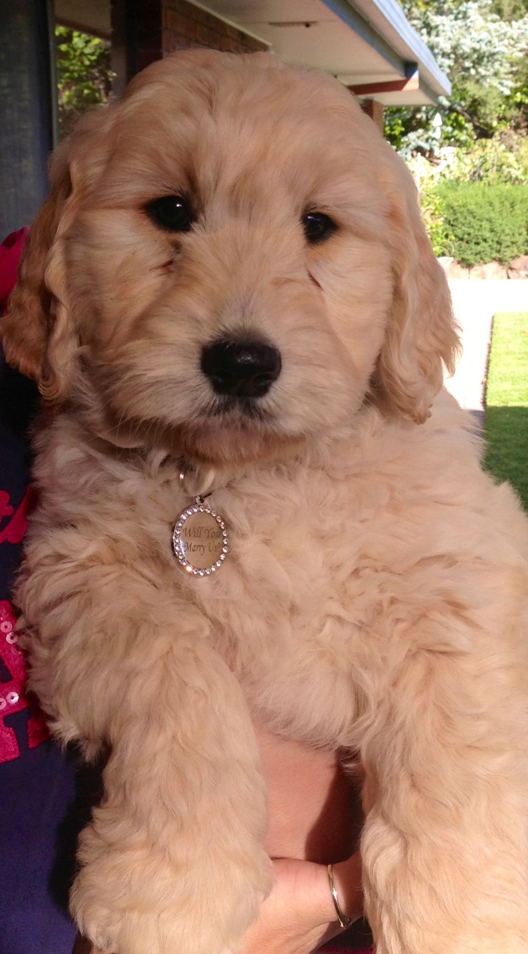 Ted The Groodle Doodle Dog Cute Puppies Cute Dogs
