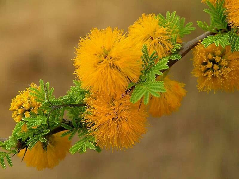 Acacia Flower Trees To Plant Desert Flowers Amazing Flowers