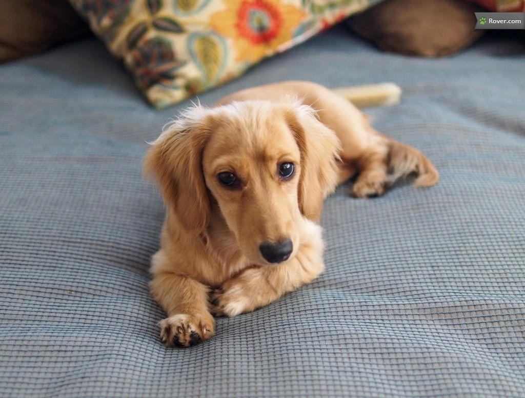 My beautiful pup Daphne. 5 month old miniature english