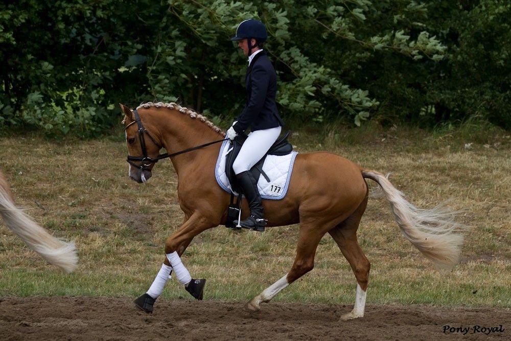 German & Dutch Riding Ponies  Can Dance  [FS Champion De Luxe x Donna/FS Dont Worry]  2007 German Riding Pony stallion