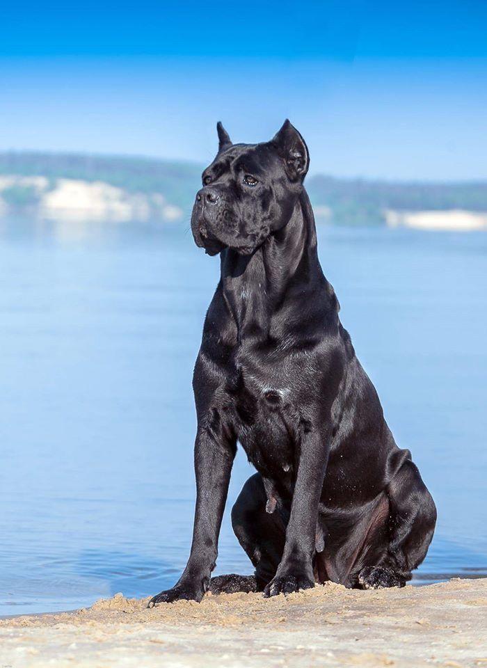 Pin De Norman Haas En Dogs Cane Corso Black Pitbull Perros Salvajes Perros Enormes Perros Peligrosos