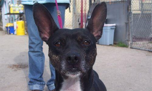 Meet Lucy A Petfinder Adoptable Basenji Dog Kenosha Wi My
