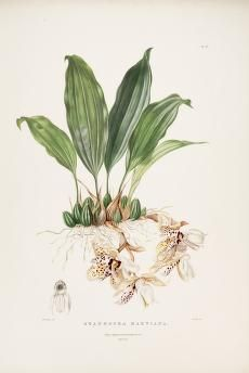 The Orchidaceae of Mexico and Guatemala.- Bateman, Jas. 1811-1897 - Drake, S. A.